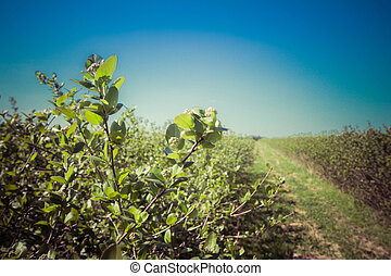 Aronia (chokeberries) growing in a field