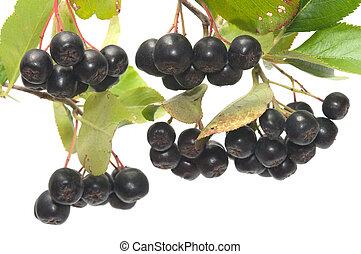 Aronia. - Branch black chokeberry close up it is isolated on...