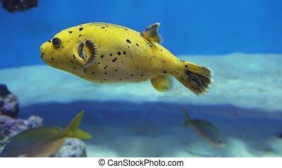Arothron is genus of fish in the family Tetraodontidae stock footage video