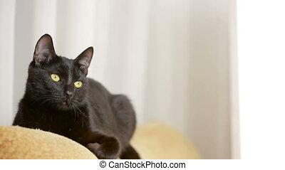 around., chat, noir, regarde, chaise, mensonge