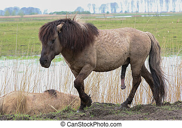 Aroused konik horse - Konik horse walking in an aroused...
