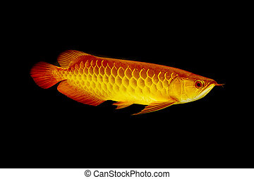 Arowana fish ,Dragonfish