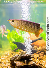 Arowana the Asian dragon fish