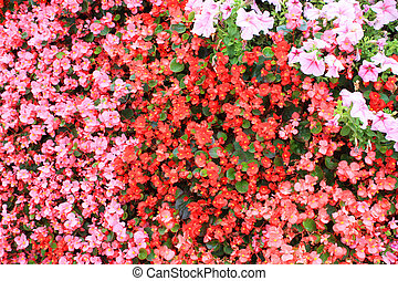 ?arpet of Impatiens flowers