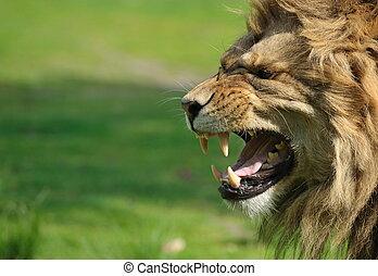 arrabbiato, leone