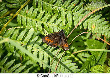 Arran brown butterfly on a large green leaf