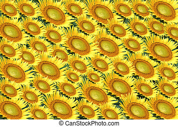 Arranged sunflower - Many big and small sunflower arranged ...