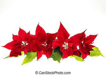 Arrangement with Christmas poinsettias - Christmas...