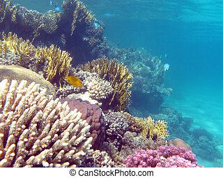 arrecife, colorido, fondo, coral, duro, tropical, mar, ...