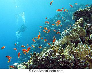 arrecife, coral, clavadistas, exótico, peces, anthias, ...