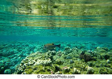 arrecife, coral