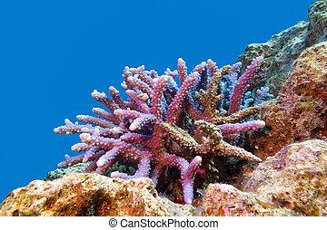 arrecife, fondo, coral, duro, tropical, acropora, mar, ...