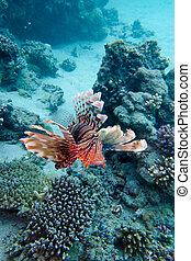 arrecife, fondo, coral, tropical, lionfish, sobre, mar
