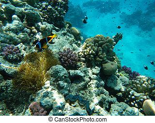 arrecife, mar rojo, coral