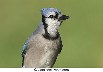 arrendajo azul, (corvid, cyanocitta)