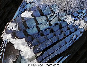 arrendajo azul, plumas
