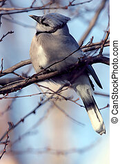 arrendajo, miembro, azul, árbol, perched