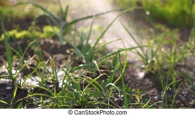 arrière-cour, concept, fin, salade verte, haut, jardinage, ralenti, irrigation., agriculture, garden.