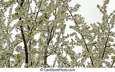 arrière-plan., blanc, arbre fruitier, fleurir