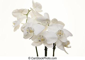 arrière-plan., blanc, branche, orchidée