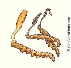 arrière-plan., blanc, cordyceps