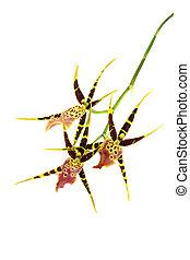 arrière-plan., blanc, isolé, orchidée