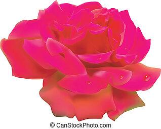 arrière-plan., blanc, rose., isolé, rouges