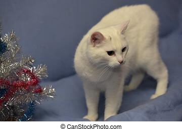 arrière-plan bleu, chat, blanc, albinos