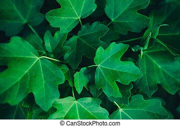arrière-plan., feuilles, vert, érable