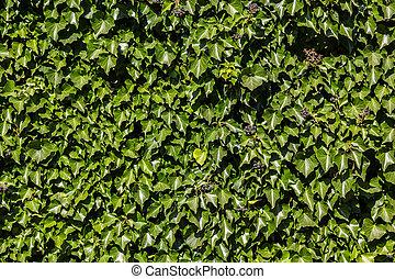 arrière-plan., (hedera)., vert, naturel, lierre