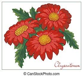 arrière-plan., isolé, illustration, vecteur, blanc rouge, floral, chrysanthèmes