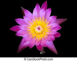 arrière-plan noir, isolé, fleur pourpre, lotus