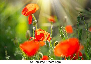 arrière-plan., printemps, fleurir, champ, coquelicots, pavot, fleurs, nature
