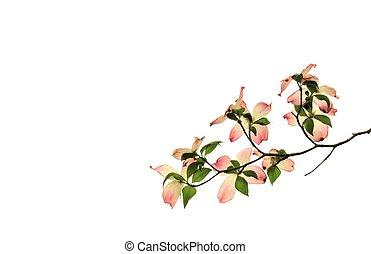 arrière-plan rose, arbre, isolé, cornouiller, fleurir, fleurs blanches