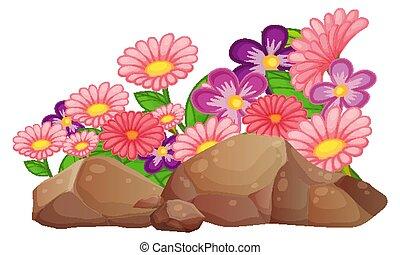 arrière-plan rose, pâquerette, fleurs blanches, gerbera