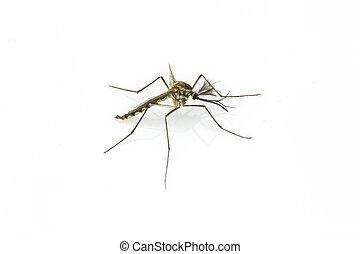 Arriba, aislado,  mosquito, Plano de fondo, cierre, blanco