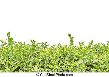 arriba, aislado, té, cierre, plantación, blanco