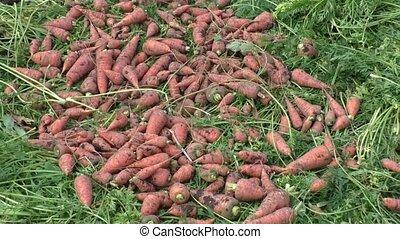 arriba, crecido, zanahorias