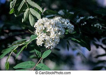 arriba, rowan, cierre, flores blancas, rojo