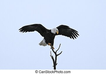 Arriving bald eagle