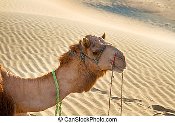 Arrogant proud camel dromader on the background of dunes....