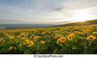 Arrowleaf Balsamroot Wildflowers Blooming in Spring at...