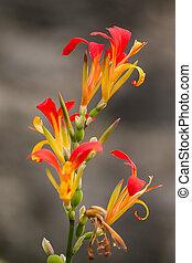 arrowroot, flor, africano