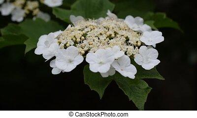 Arrowwood flowers in spring - Arrowwood flowers blossoming...
