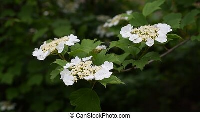 Arrowwood or viburnum bush blossoming in spring with partly...