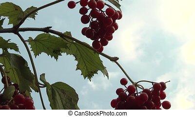 Arrowwood - red bush viburnum.