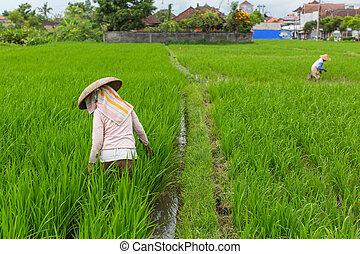 arroz, campo, trabalhando, agricultores