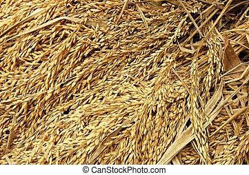 arroz, colheita
