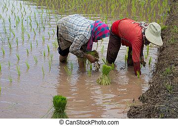arroz, cultivo, em, tailandia