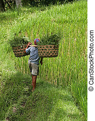 arroz, cultivo